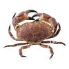 Noordzee krab heel levend, pantser en scharen, 400-700gr